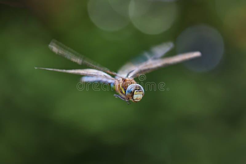 Dragonfly in flight. Dragonfly macro in flight shot stock image