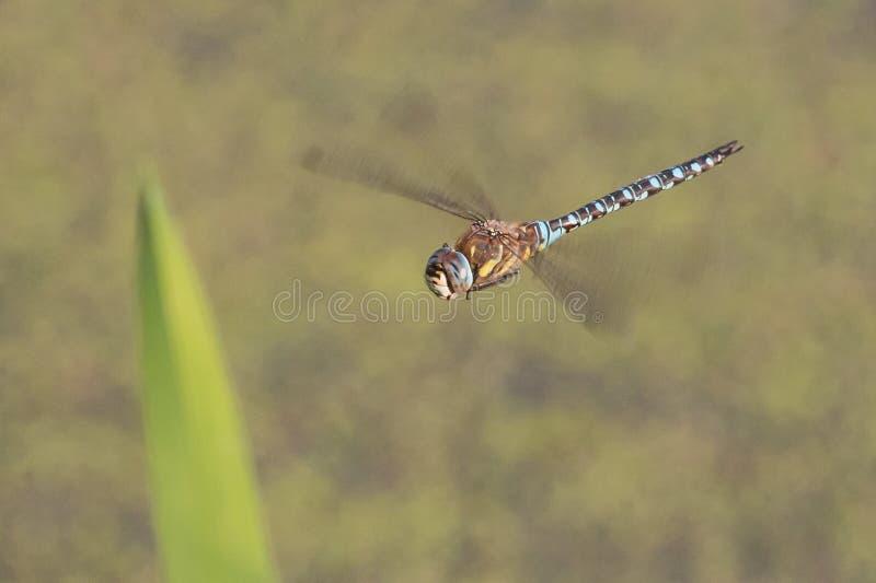 Dragonfly in flight stock photos