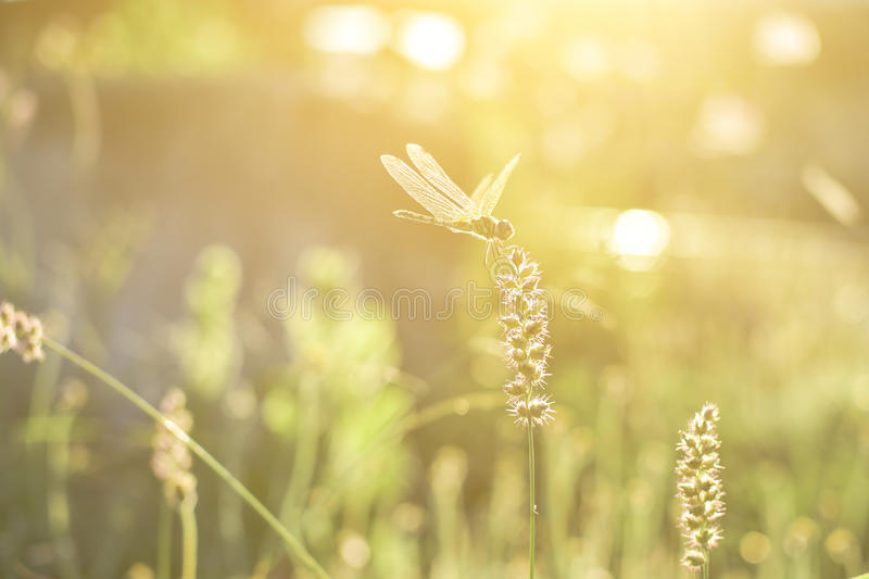 Dragonfly and flower grass with evening sun.  stock image