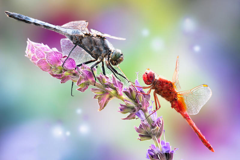 dragonfly on a flower royalty free stock images