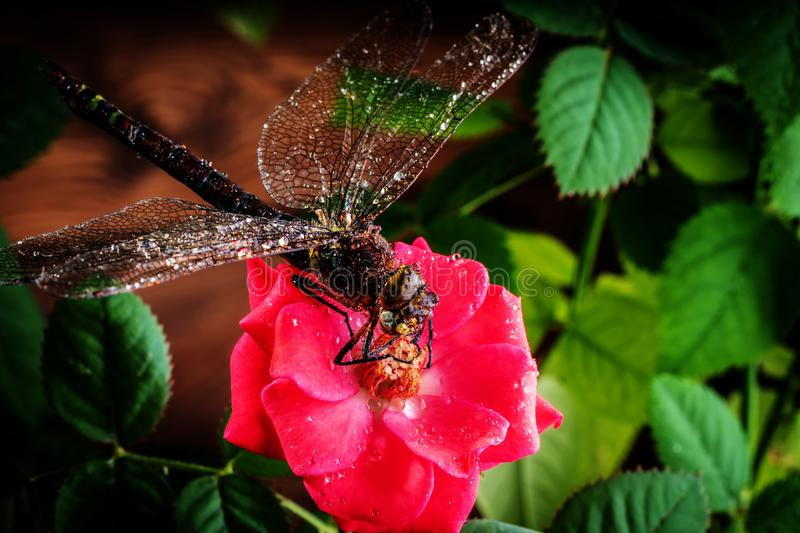 Dragonfly on a flower of a red rose. Macro photo royalty free stock images