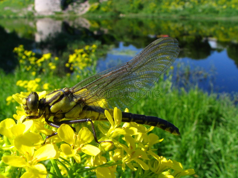 Dragonfly on a flowers royalty free stock photos