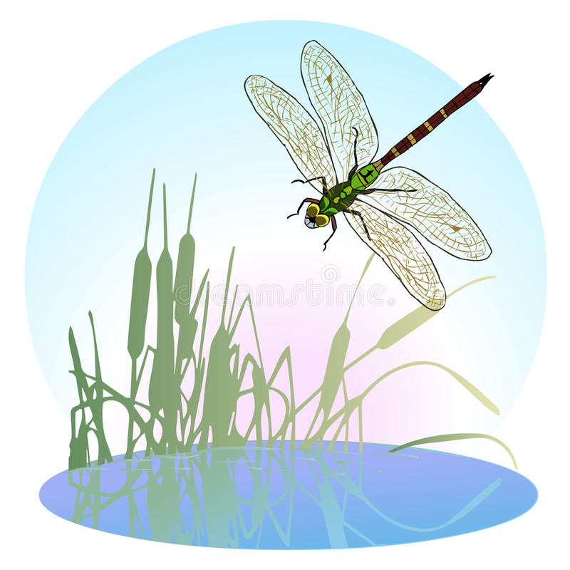 Dragonfly flying over a pond overgrown with reeds. Life is flying predatory insects. royalty free illustration