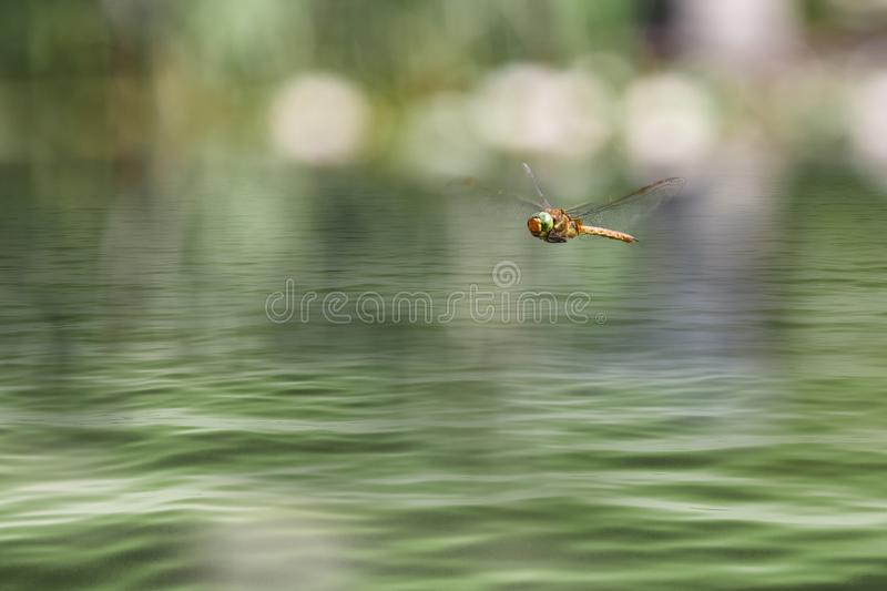 Dragonfly flying in a zen garden. Close up of a dragonfly flying against a green and blur sunny background with space for message