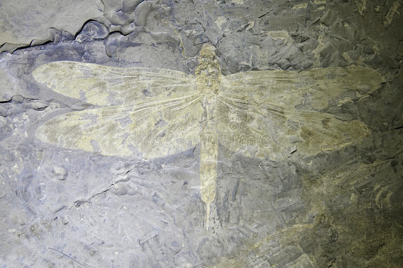 Dragonfly fossil. The close-up of dragonfly fossil of Aeschnidium sp stock image