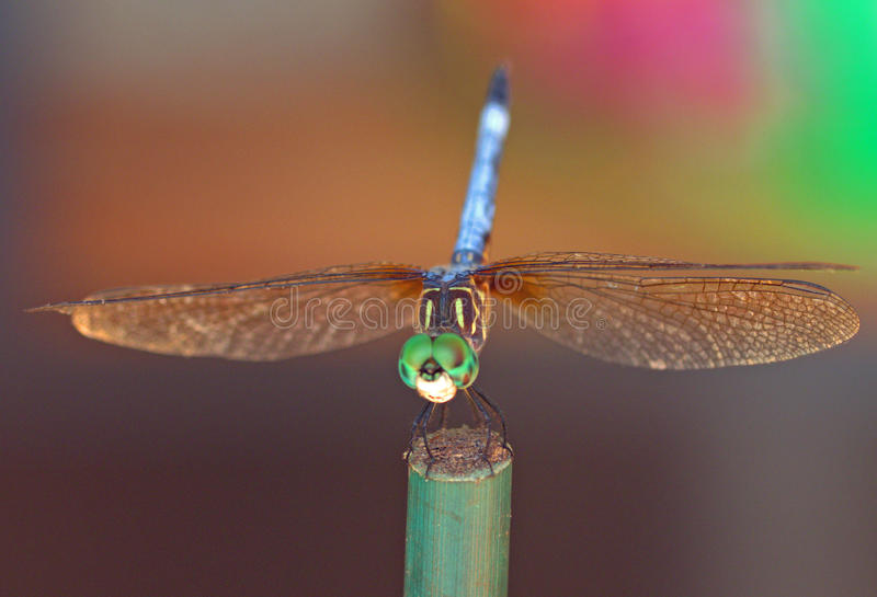 dragonfly glow royalty free stock photography