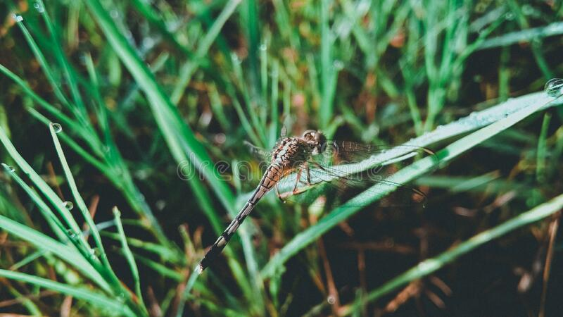 Dragonfly on Grass Leaf royalty free stock images