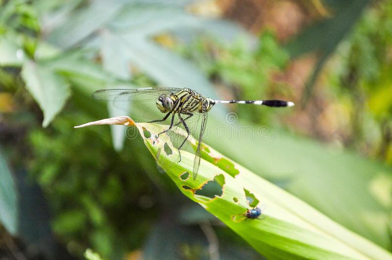 Dragonfly on green grass. Close up dragonfly on green grass royalty free stock photography