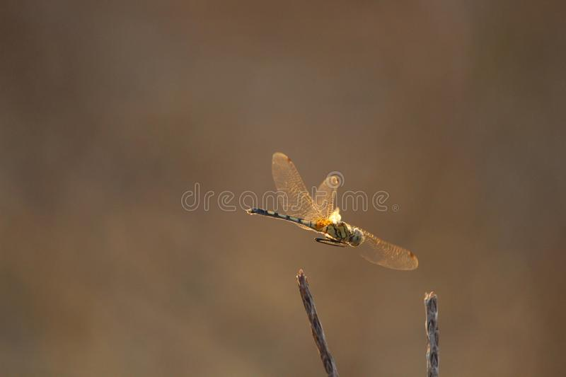 Dragonfly green tail orange wings flying stock photo