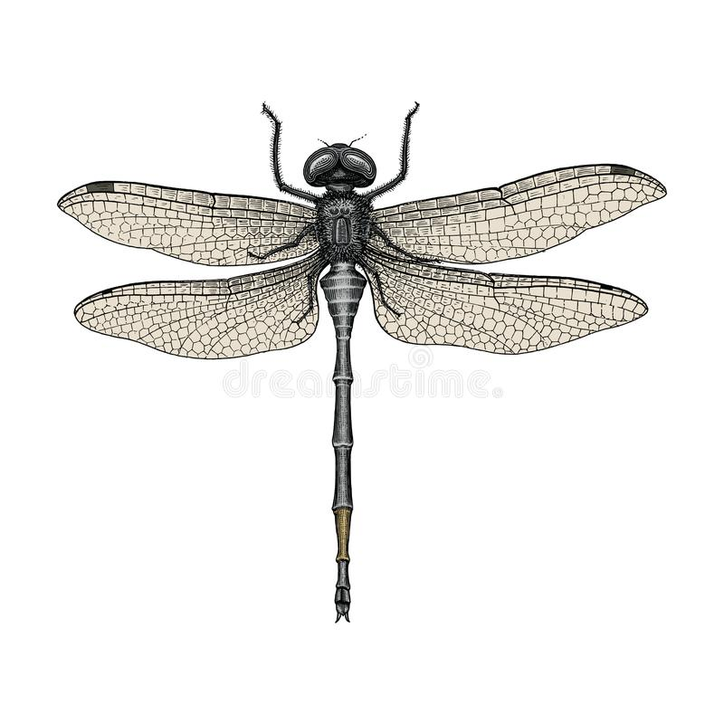 Dragonfly hand drawing vintage engraving illustration. Isolated on white background royalty free illustration