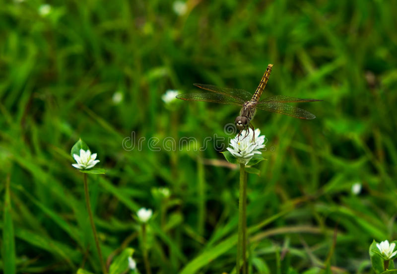 Dragonfly harvest sweet water on white flower. Background stock images