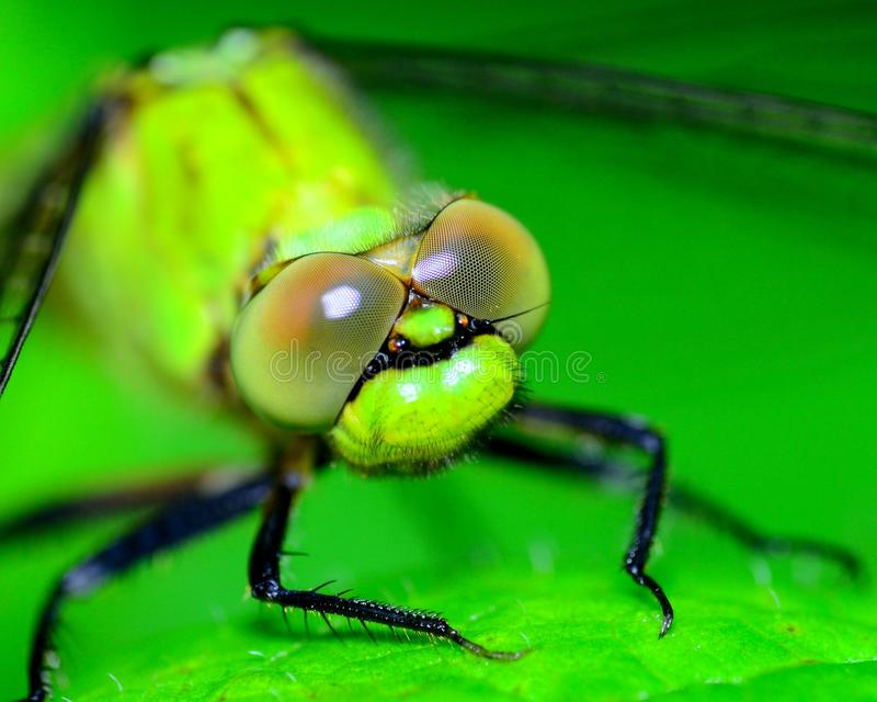 Dragonfly Head royalty free stock photo