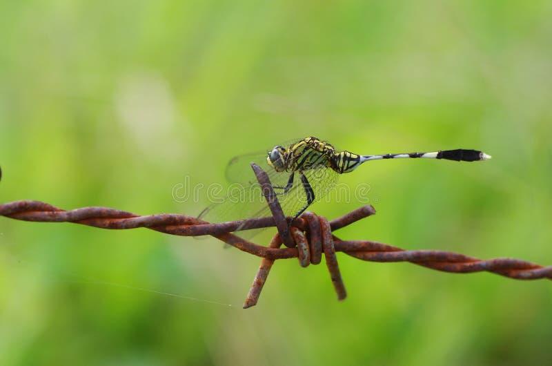Dragonfly i drut kolczasty zdjęcie stock