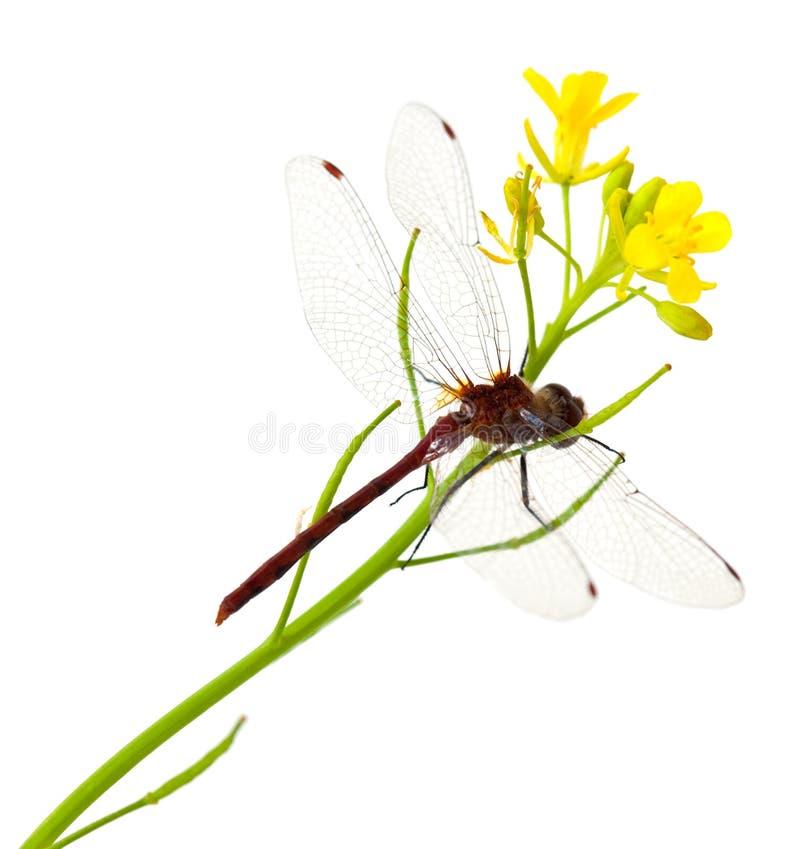 Dragonfly i Mustardgreen Kwiat zdjęcie stock