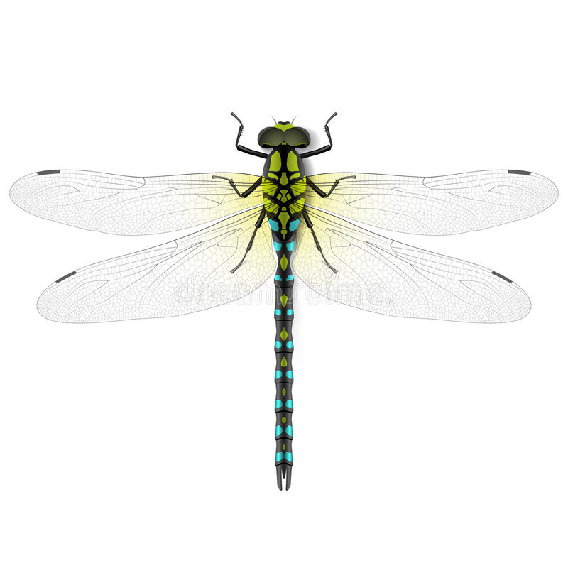 Dragonfly. Illustration on white background