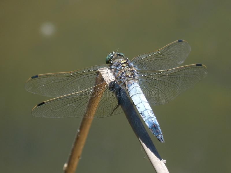 Dragonfly, Insect, Dragonflies And Damseflies, Damselfly royalty free stock photos
