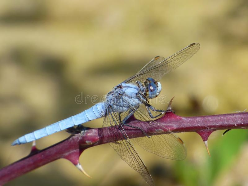 Dragonfly, Insect, Dragonflies And Damseflies, Invertebrate Free Public Domain Cc0 Image