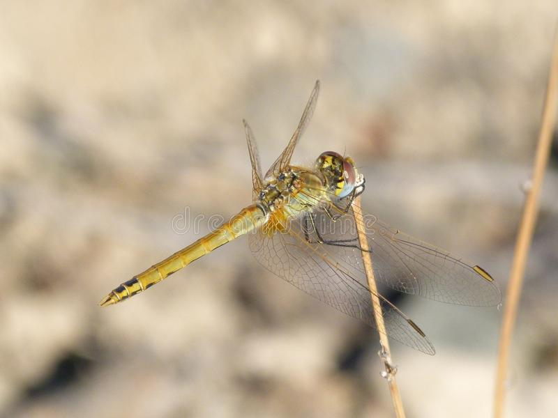 Dragonfly, Insect, Invertebrate, Fauna royalty free stock photos