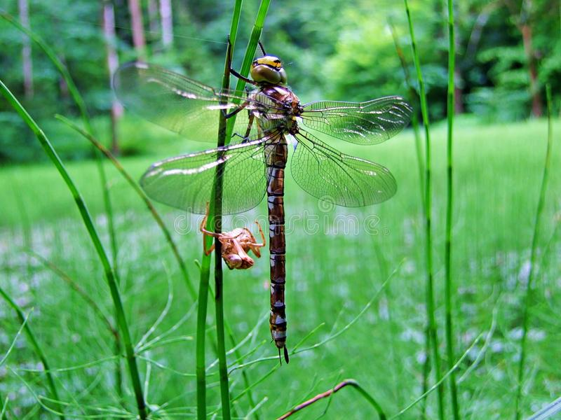 dragonfly, insect, nature, macro, wings, animal, bug, green, wildlife, fly, wing, damselfly, closeup, fauna, grass, close-up, red royalty free stock photo