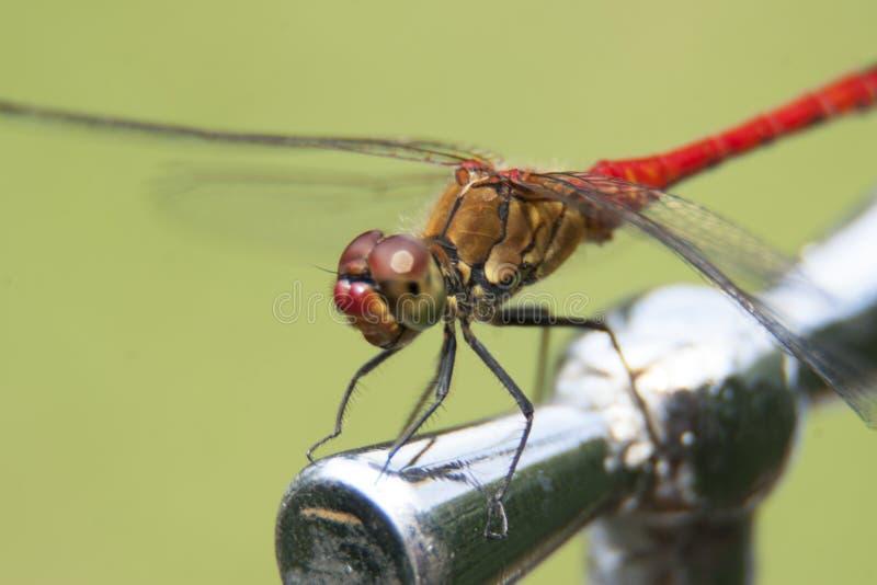 Dragonfly insekta makro- fotografii plenerowa przyroda zdjęcie royalty free