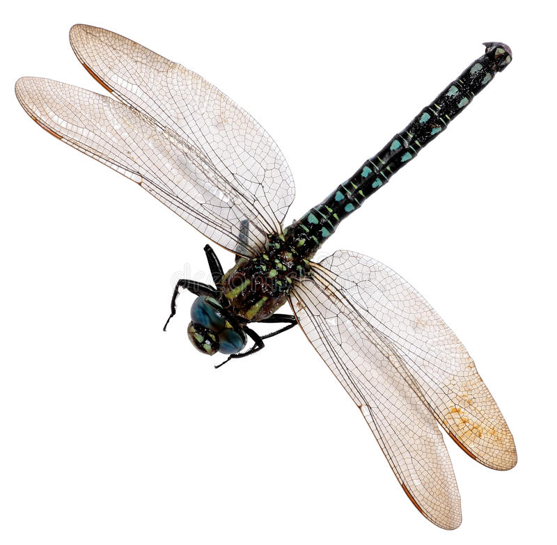 Free Dragonfly Isolated On White Background. Royalty Free Stock Images - 41745139