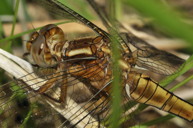 dragonfly keeled skimmer zdjęcie royalty free