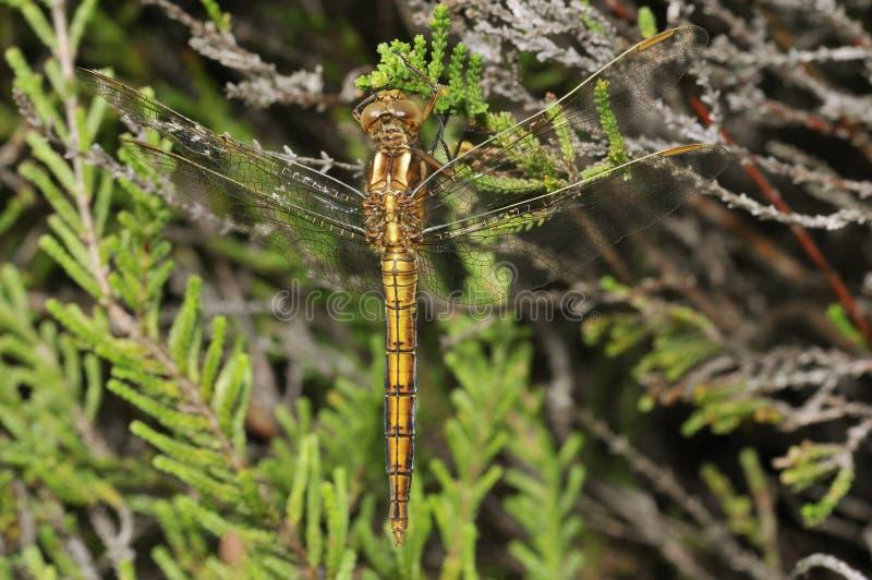 dragonfly keeled skimmer zdjęcia stock