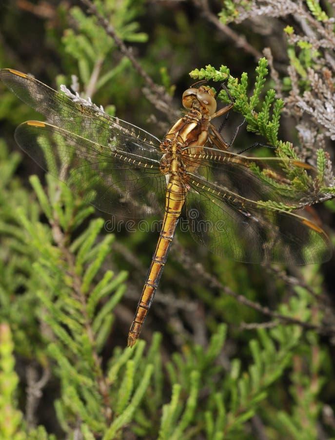 dragonfly keeled skimmer obrazy stock