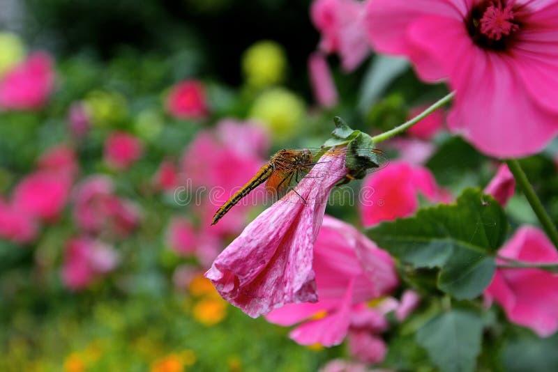 dragonfly kwiatu pięknego koloru światowa fotografia canon7d zdjęcia royalty free