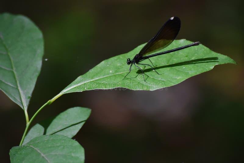 Dragonfly lądowanie na liściu obrazy royalty free