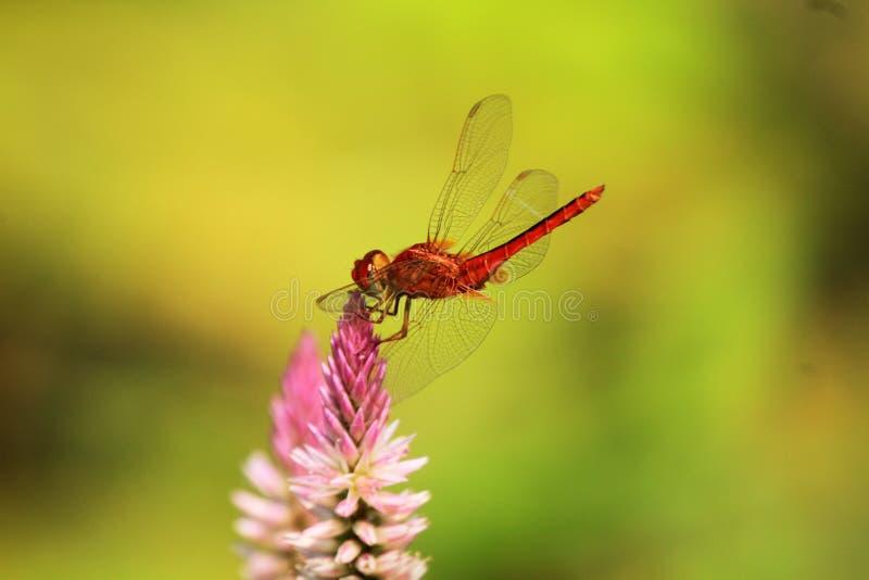Dragonfly lądowanie na odgórnym kwiacie zdjęcia stock