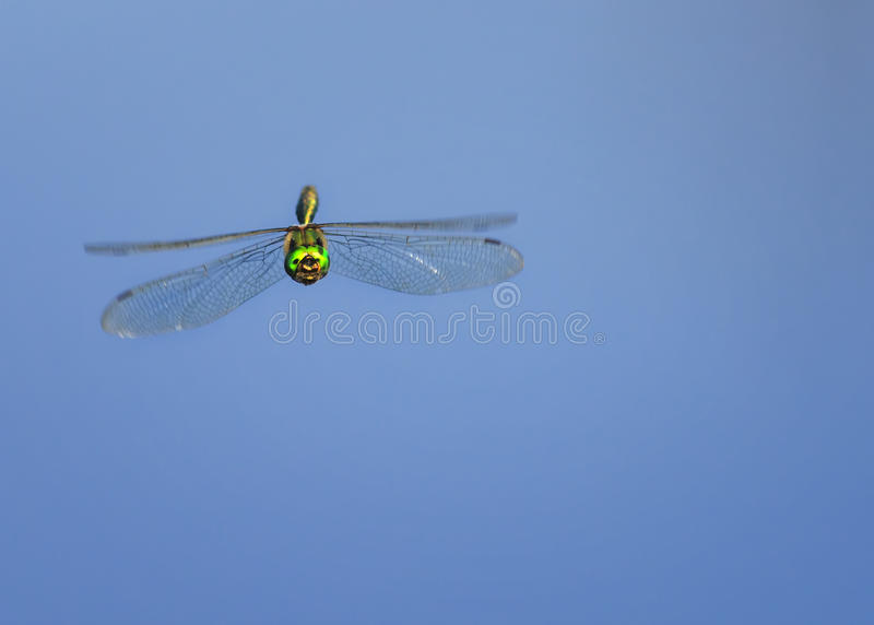 Dragonfly with large eyes and shining wings flying on blue sky b stock image
