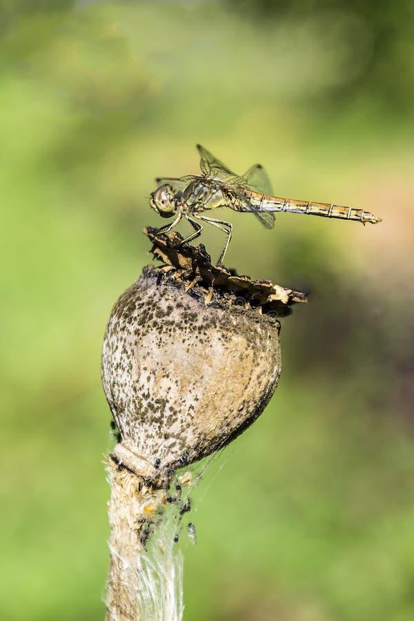 Dragonfly latał wewnątrz i siedzi na zatartym dekoracyjnym maczku obraz royalty free