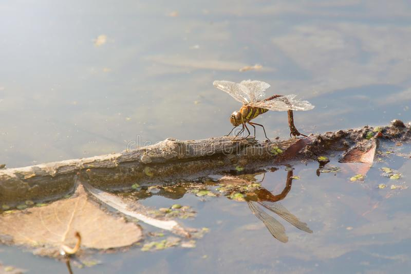 Dragonfly Laying Eggs, Â Colorful Dragonfly on a plant die in het water reflecteert royalty-vrije stock afbeelding