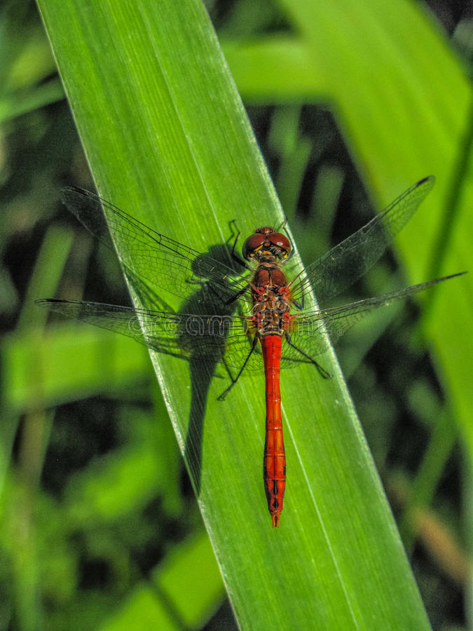 Dragonfly On Leaf Free Public Domain Cc0 Image