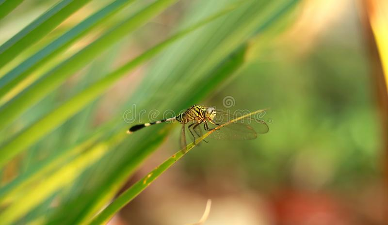 Dragonfly on leaf. With bokeh background stock photo