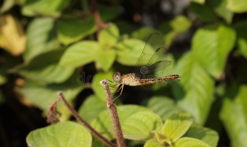 Dragonfly on leaf royalty free stock image