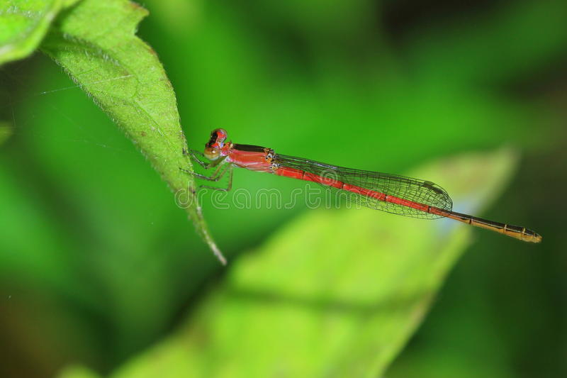 Dragonfly on leaf small needle royalty free stock photos