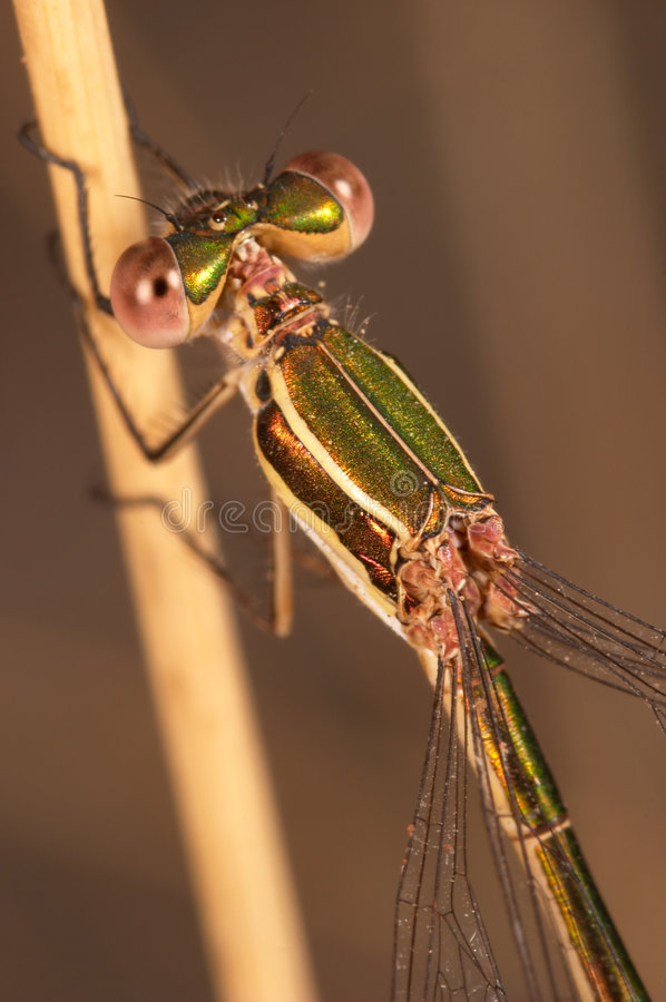 Download Dragonfly (Lestes Barbarus) Stock Image - Image: 2403373