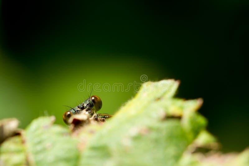 dragonfly liść zdjęcie royalty free