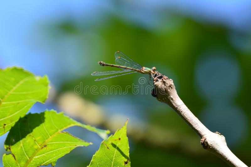 Dragonfly/libelle. Beautiful dragonfly in the Netherlands, kissing a branch of a tree stock photography
