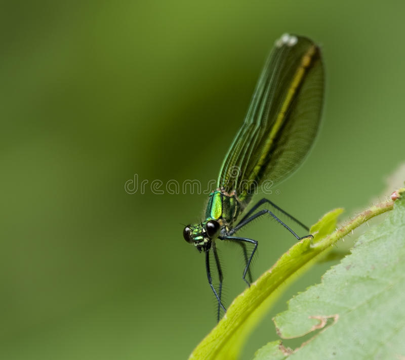 Dragonfly - Libellula 300dpi royalty free stock photo
