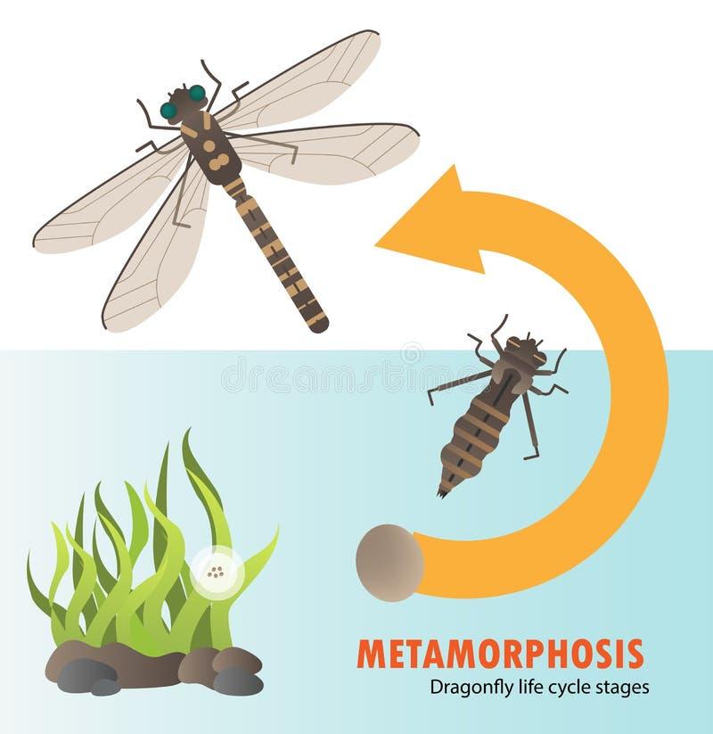 Dragonfly life cycle metamorphosis vector illustration