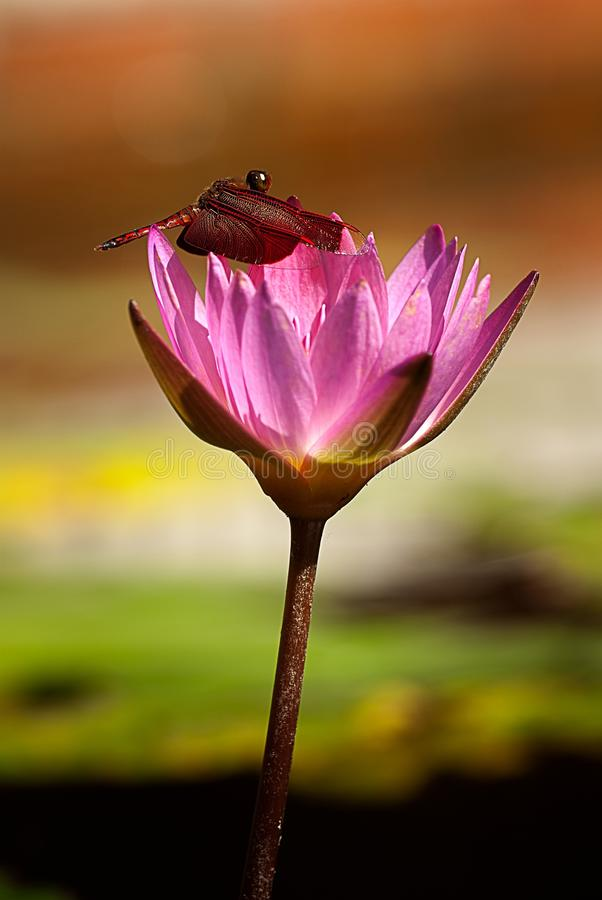 Dragonfly Lotus. And beautiful background color royalty free stock photos