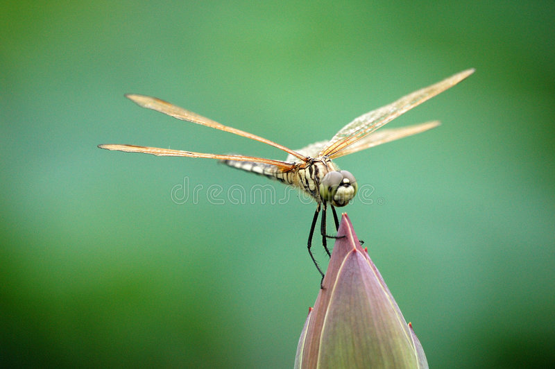 Download Dragonfly on lotus bud stock image. Image of flower, summer - 5856743