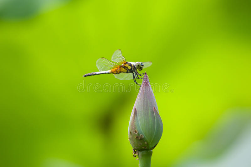 Dragonfly on lotus flower royalty free stock photography