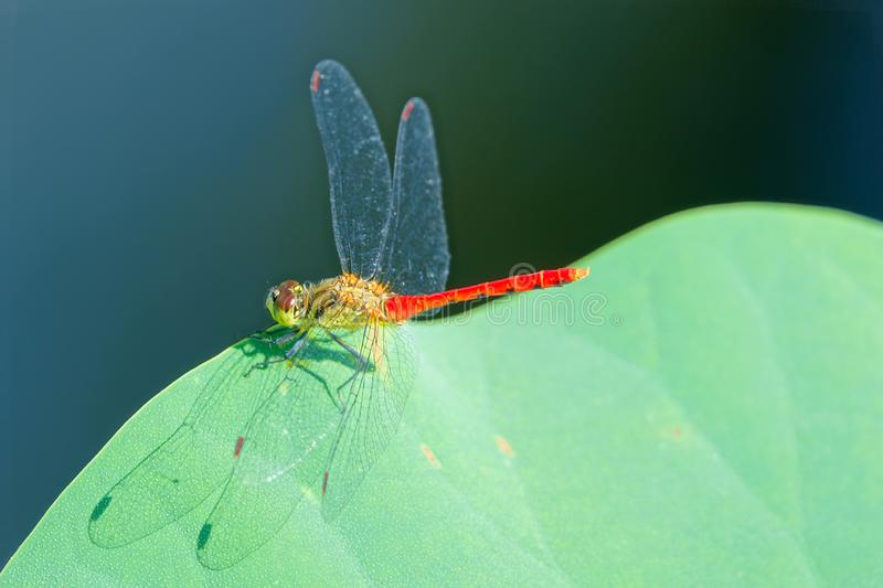Dragonfly and lotus leaf. The close-up of a male dragonfly stands on lotus leaf. Scientific name: Pantala flavescens royalty free stock photo