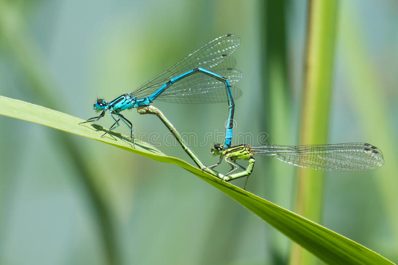 Download Dragonfly in love stock photo. Image of creature, fragile - 28566778