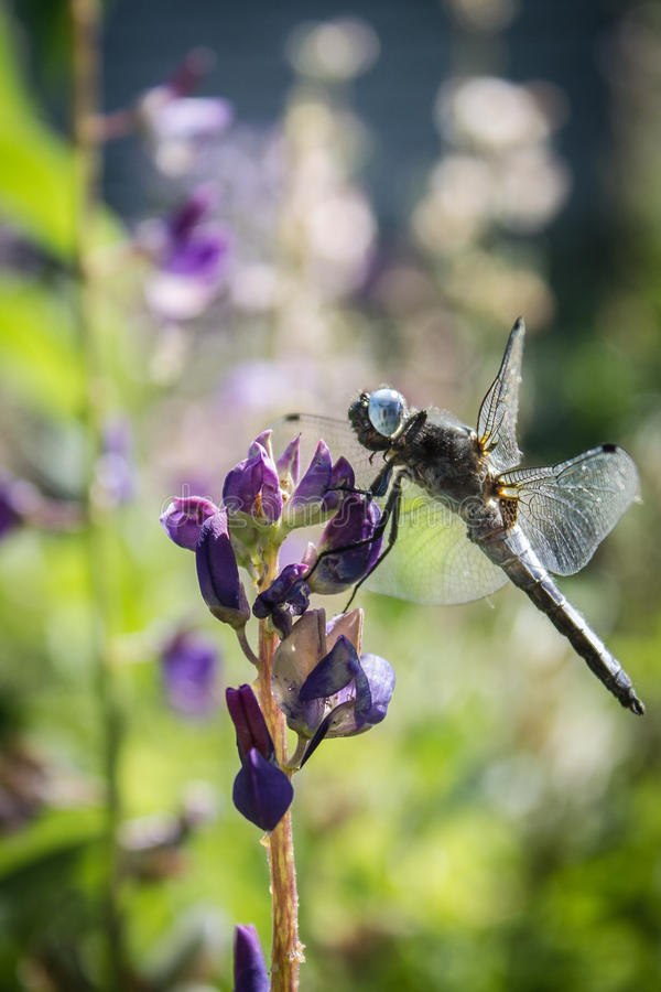 Dragonfly on lupin. Dragonfly close up on the lupin royalty free stock photos