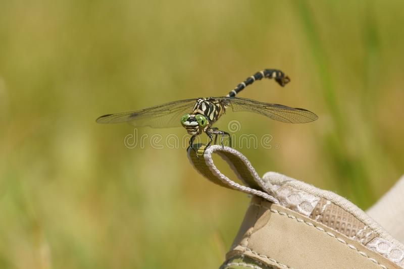 Dragonfly, Małego Pincertail Onychogomphus forcipatus Zielonooki Ogoniasty na bucie zdjęcia royalty free